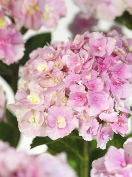 Hydrangea macrophylla 'Magical Amethyst'® / Bauern-Hortensie 'Magical Amethyst'®