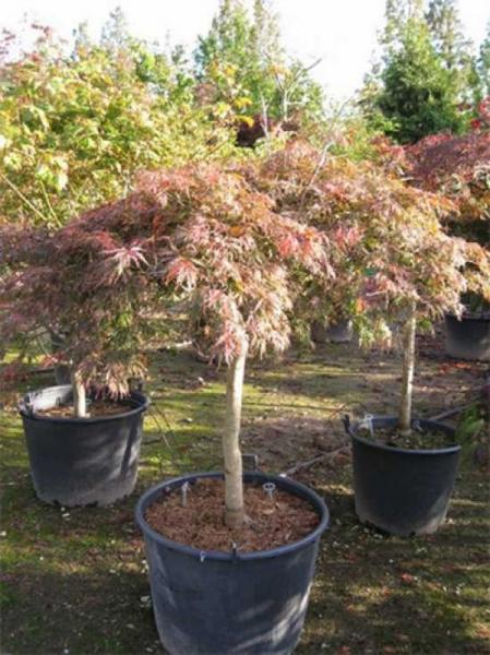 Acer palmatum 'Inaba shidare' auf Stamm / Fächerahorn 'Inaba shidare' / Japanischer Ahorn