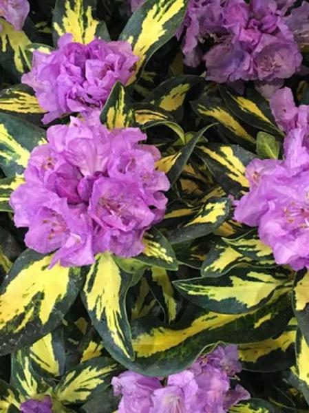 Rhododendron Hybride 'Blattgold' / Rhododendron 'Blattgold'