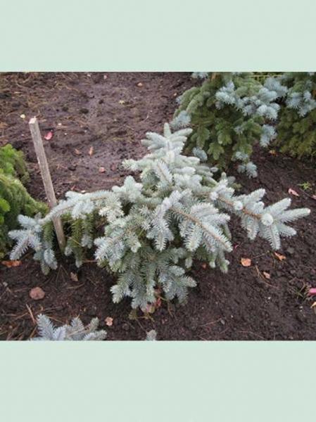 Picea pungens 'Glauca Prostrata' / Zwerg-Blaufichte