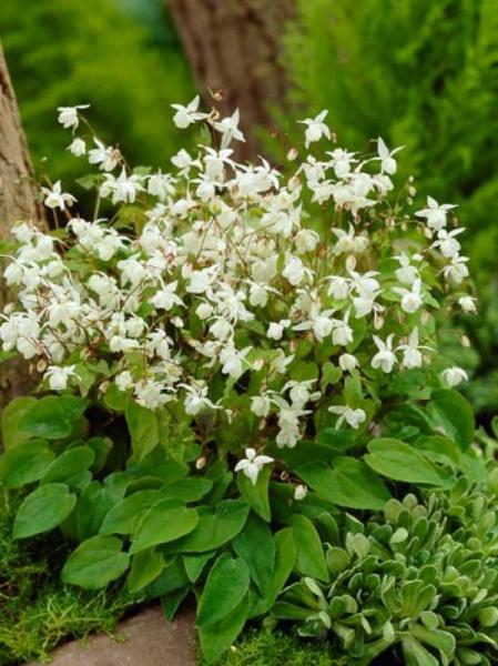 Epimedium youngianum 'Niveum' / Polster-Elfenblume