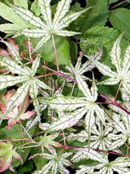 Acer palmatum 'Reticulatum' auf Stamm / Japanischer Fächerahorn 'Reticulatum'