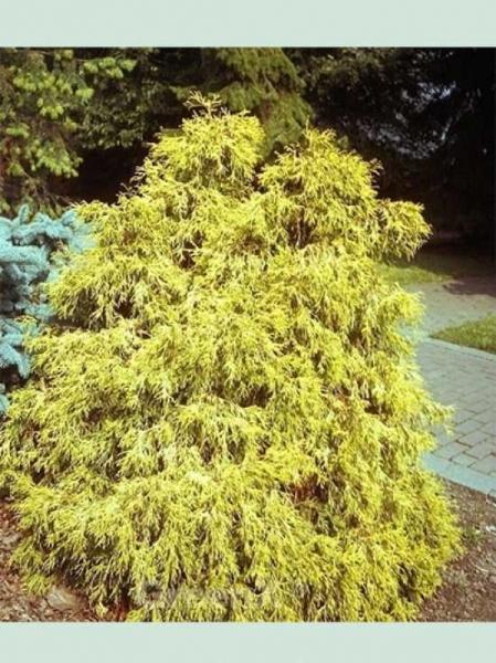 Chamaecyparis pisifera 'Filifera Aurea' / Gelbe Fadenzypresse