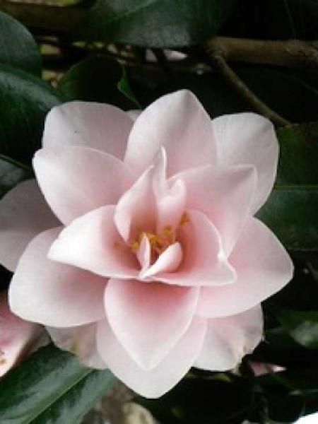 Camellia japonica 'Hagoromo' / Japanische Kamelie 'Hagoromo'