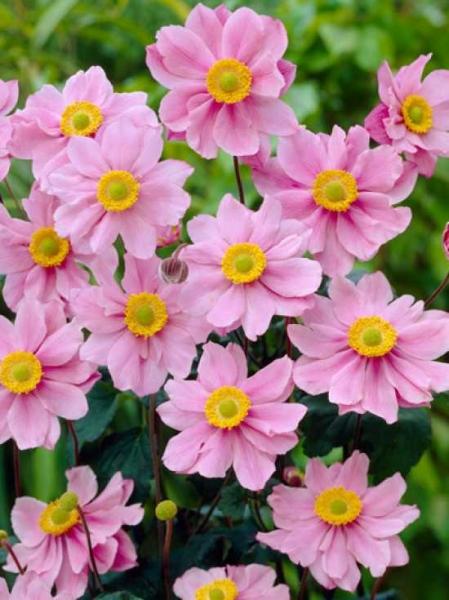Anemone tomentosa 'Serenade' / Herbst-Anemone