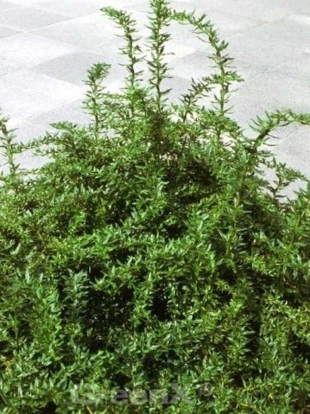 Berberis frikartii 'Amstelveen' / Immergrüne Kugelberberitze 'Amstelveen'