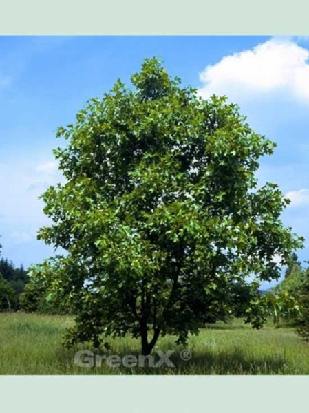 Quercus velutina / Quercitron-Eiche / Schwarz Eiche