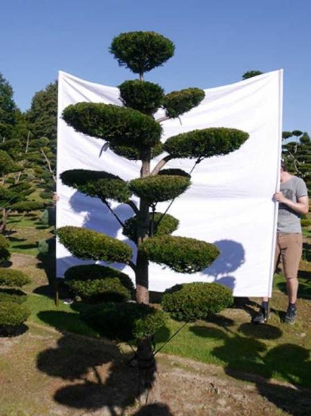 Taxus media 'Hillii' H: 250 cm B: 140 cm / Garten-Bonsai (0168)