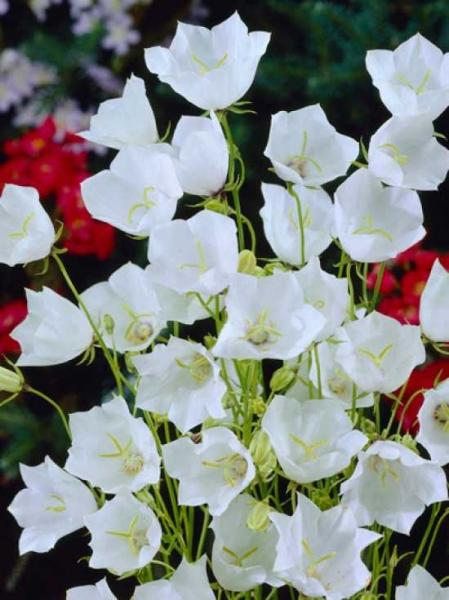 Campanula carpatica 'Alba' / Weiße Karpaten-Glockenblume
