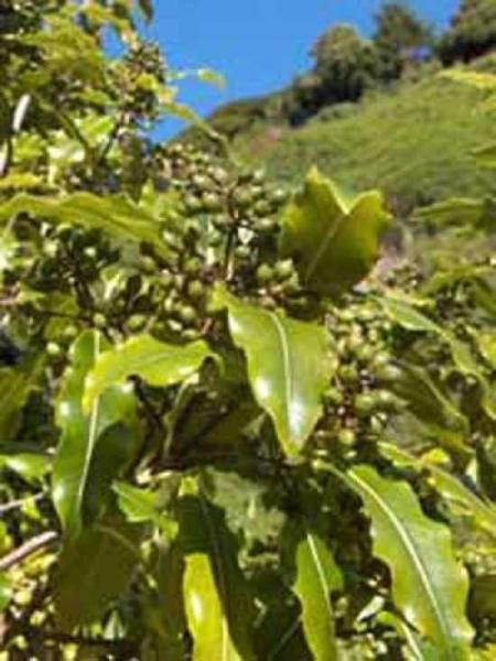 Pittosporum eugenioides / Zitronen-Klebsame