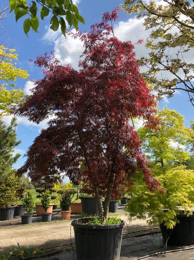 Acer palmatum 'Tamukeyama' / Fächer-Ahorn / Japanischer Ahorn 250-300 cm (1135)