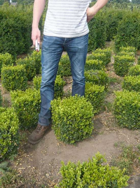 Buxus sempervirens 'Quader' / Buchsbaum 'Quader' 35-40 cm mit Ballierung