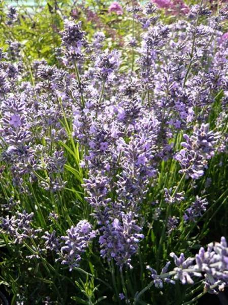 Lavandula angustifolia 'Silver Blue' / Echter Lavendel