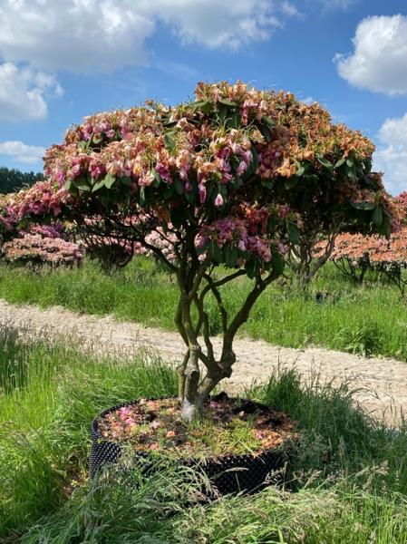 Rhododendron Hybride 'Germania' 200-225 cm breit x 175-200 cm hoch / Rhododendron 'Germania' Schirmform
