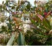 Blütenhecke / blühende Hecke Glanzmispel