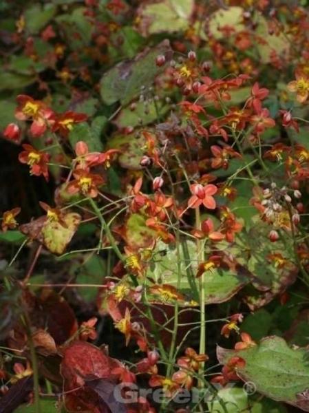Epimedium warleyense / Garten-Elfenblume