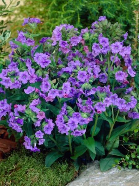 Pulmonaria angustifolia 'Blue Ensign' / Schmalblättriges Garten-Lungenkraut
