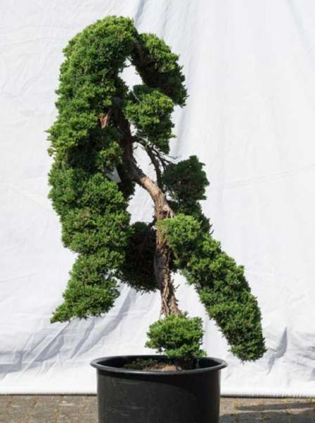 Juniperus procumbens 'Nana' H: 140 cm B: 70 cm / Garten-Bonsai (528)