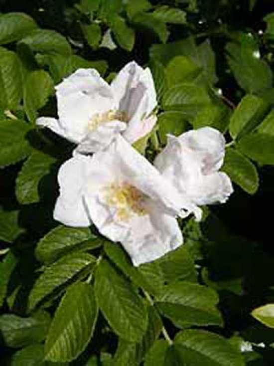 weiße Apfelrose Rosa rugosa Alba robust duftend