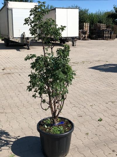 Acer griseum / Zimt-Ahorn 150-175 cm (546801)