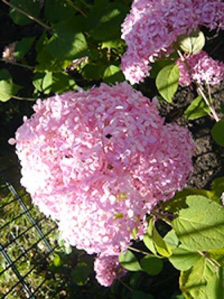 Hydrangea arborescens 'Invincibelle ®' ('Pink Annabelle') / Ball-Hortensie 'Invincibelle' ('Pink Annabelle')