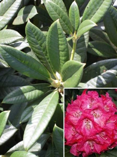 Rhododendron Hybride 'Berliner Liebe' / Rhododendron 'Berliner Liebe'