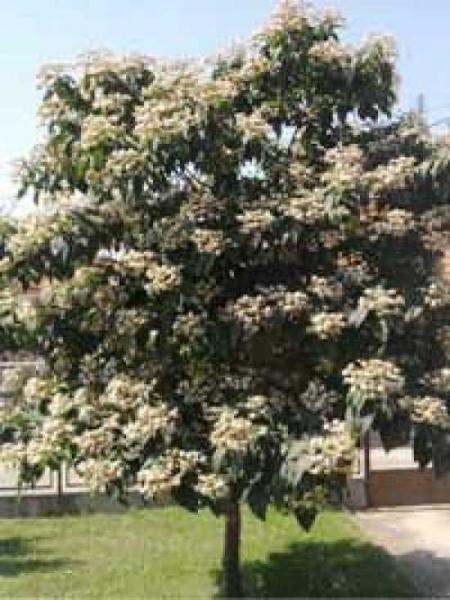 Clerodendrum Trichotomum Chinesischer Losbaum