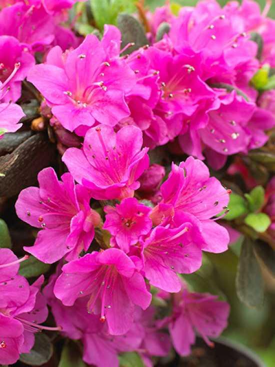 rhododendron obtusum 39 hiroko 39 japanische azalee 39 hiroko 39 g nstig kaufen. Black Bedroom Furniture Sets. Home Design Ideas