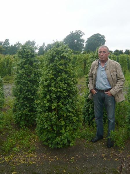 Buxus Rotundifolia / Großblättriger Buchsbaum 175-200 cm Solitär mit Ballierung