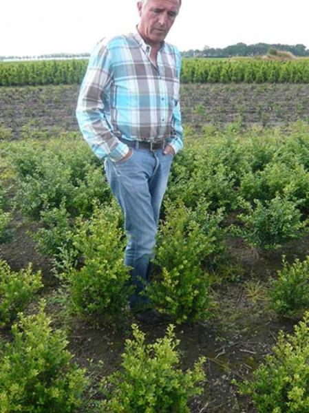Ilex crenata 'Green Hedge' / Kleinlaubige Japan-Hülse 'Green Hedge' 50-60 cm mit Ballierung