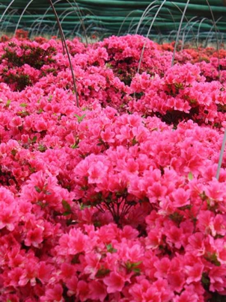 rhododendron nakaharai 39 drapa 39 r japanische azalee 39 drapa 39 g nstig kaufen. Black Bedroom Furniture Sets. Home Design Ideas