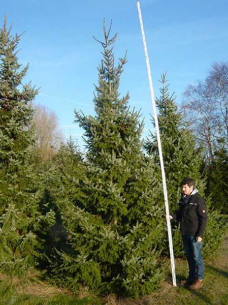Picea omorika / Serbische Fichte 450-500 cm mit Drahtballierung