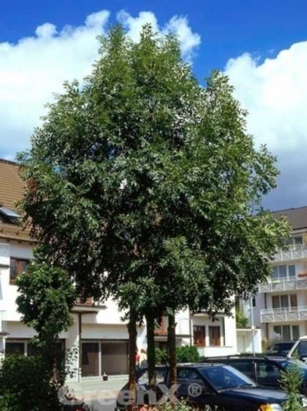 Fraxinus excelsior 'Altena' / Gemeine Esche 'Altena' / Gewöhnliche Esche 'Altena'