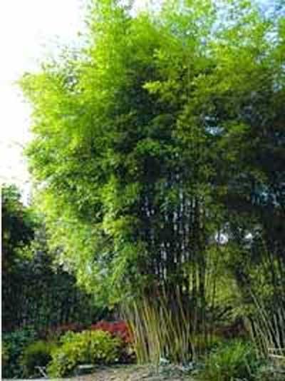 Phyllostachys nigra henonis / Gold Haar Bambus 300-350 cm im 70-Liter Container