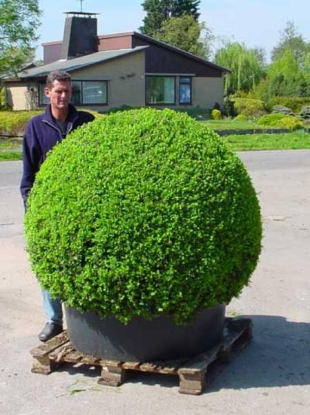 Buxus sempervirens 'Kugel' / Buchsbaum 'Kugel' 140-160 cm Solitär mit Drahtballierung