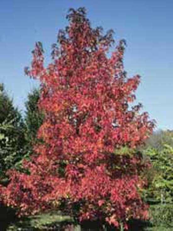 liquidambar styraciflua 39 worplesdon 39 amberbaum. Black Bedroom Furniture Sets. Home Design Ideas