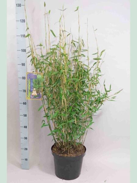 Fargesia murielae 'Jumbo' / Gartenbambus 'Jumbo' 80-100 cm im 10-Liter Container