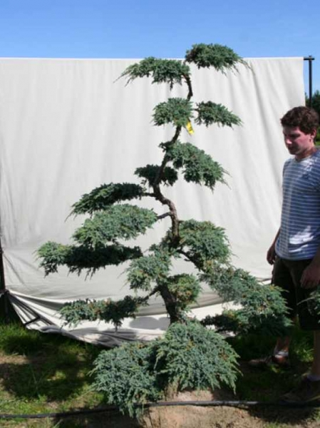 Juniperus squamata 'Blue Carpet' H: 200 cm B: 140 cm / Garten-Bonsai (306112)