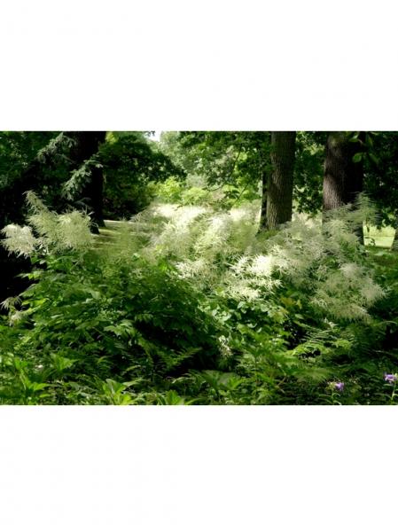 Aruncus sinensis 'Zweiweltenkind' / Wald-Geißbart