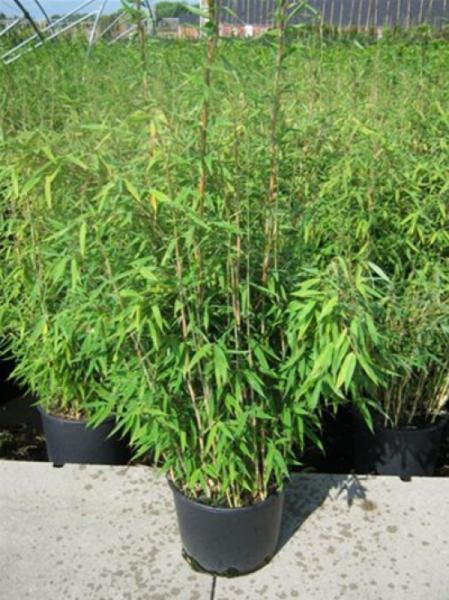 Fargesia murielae 'Jumbo' / Gartenbambus 'Jumbo' 60-80 cm im 10-Liter Container