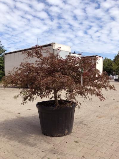 Acer palmatum 'Crimson Queen' / Roter Schlitzahorn 'Crimson Queen' 150-175 cm breit (546810)