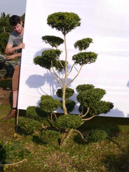 Buxus sempervirens H: 180 cm B: 120 cm / Garten-Bonsai (0084)