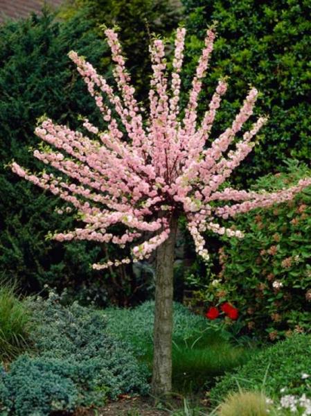 Prunus triloba Stämmchen / Mandelbäumchen