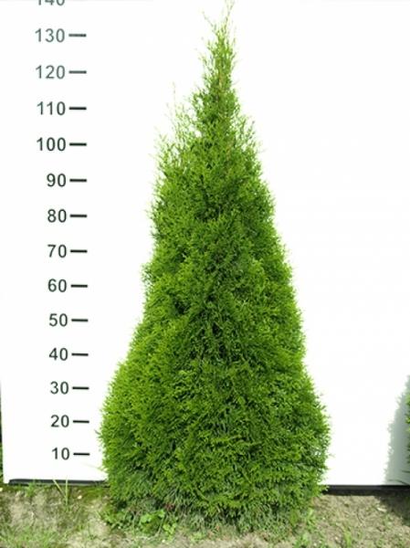 Thuja occidentalis 'Smaragd' / Lebensbaum 'Smaragd' 100-125 cm Solitär mit Ballierung