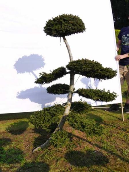 Picea orientalis 'Aurea' H: 150 cm B: 110 cm / Garten-Bonsai (0081)