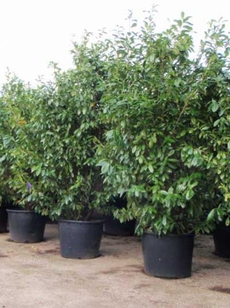 Prunus laurocerasus 'Rotundifolia' / Kirschlorbeer 'Rotundifolia' 250-300 cm im 150-Liter Container