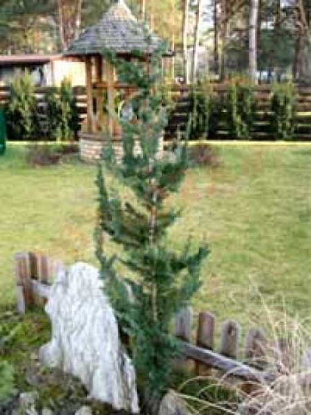 Chamaecyparis lawsoniana 'Little Spire' / Kegelzypresse 'Little Spire'