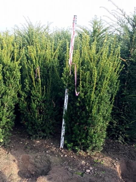 Taxus media 'Hillii' / männliche Bechereibe 160-180 cm Solitär mit Drahtballierung