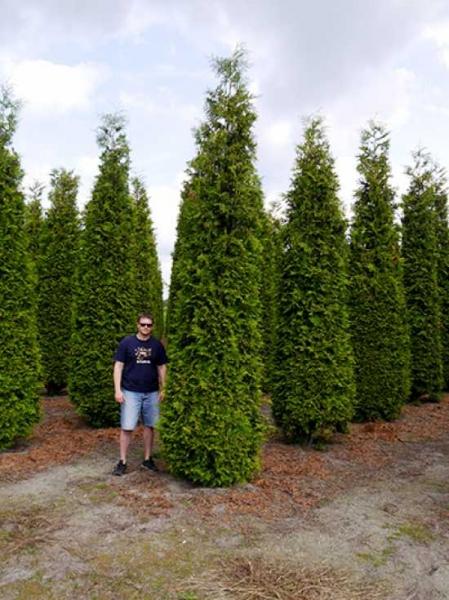 thuja occidentalis 39 brabant 39 lebensbaum 39 brabant 39 450 500 cm solit r mit drahtballierung. Black Bedroom Furniture Sets. Home Design Ideas