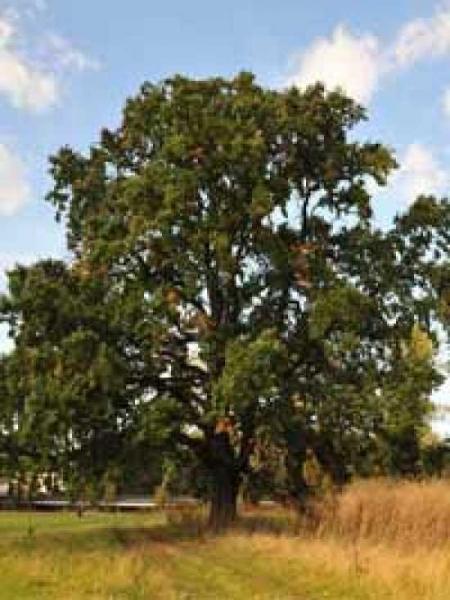 Quercus robur / Stiel-Eiche / Sommer-Eiche